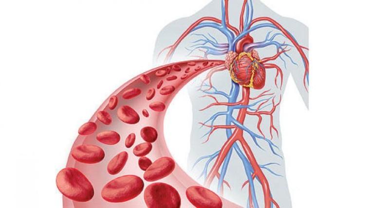 ما هي مكونات و وظيفة الجهاز القلبي الوعائي ؟